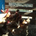 agriturismo zio cristoforo gallina